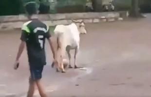 بالفيديو... بقرة تلعب كرة القدم