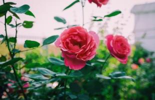 اصنعيه بنفسك: معطر الورد الشامي المنعش