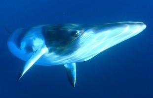 صورة مذهلة لحوت يبتلع أسد البحر دفعة واحدة