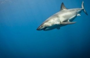 وحش مرعب يقتل سمكة قرش عملاقة تزن 530 كغم... صور